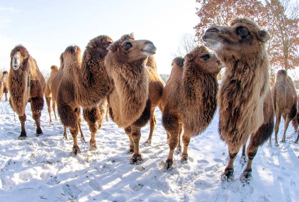 Camels Alaska