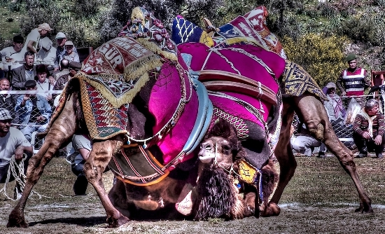 Camels-wrestling-in-Selcuk-Turkey